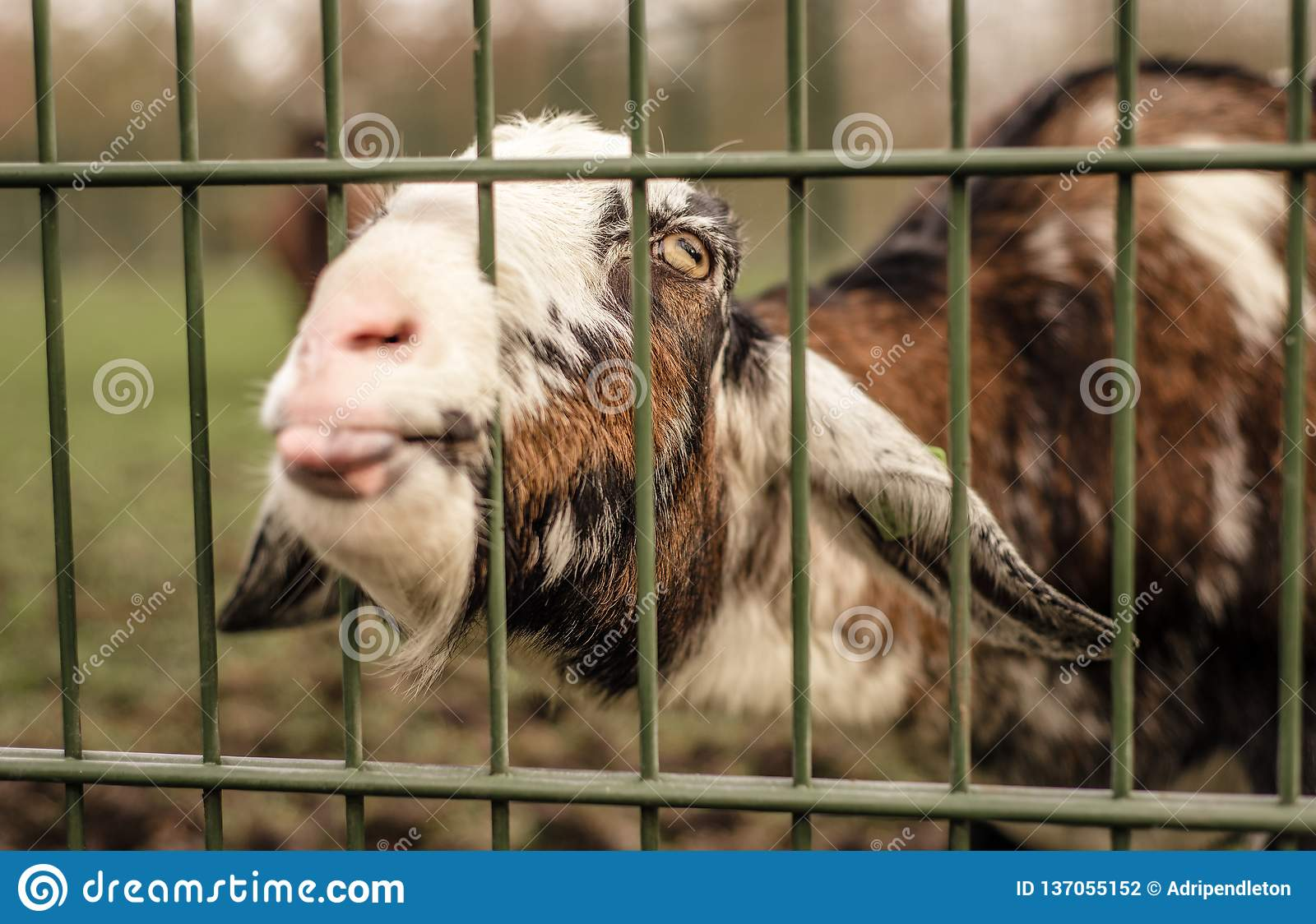 Goat Sticks Tongue Out With Head Through Fence, Begging For Food