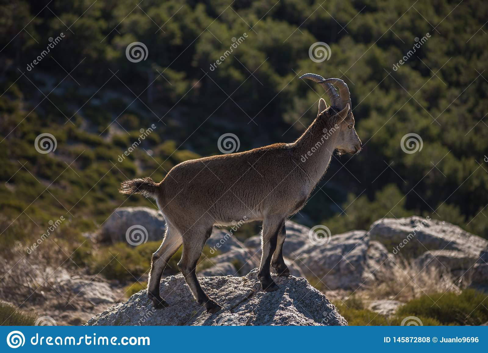 The goat. Wild mountain goats at dawn on the National Park of Guadarrama,Spain royalty free stock photos
