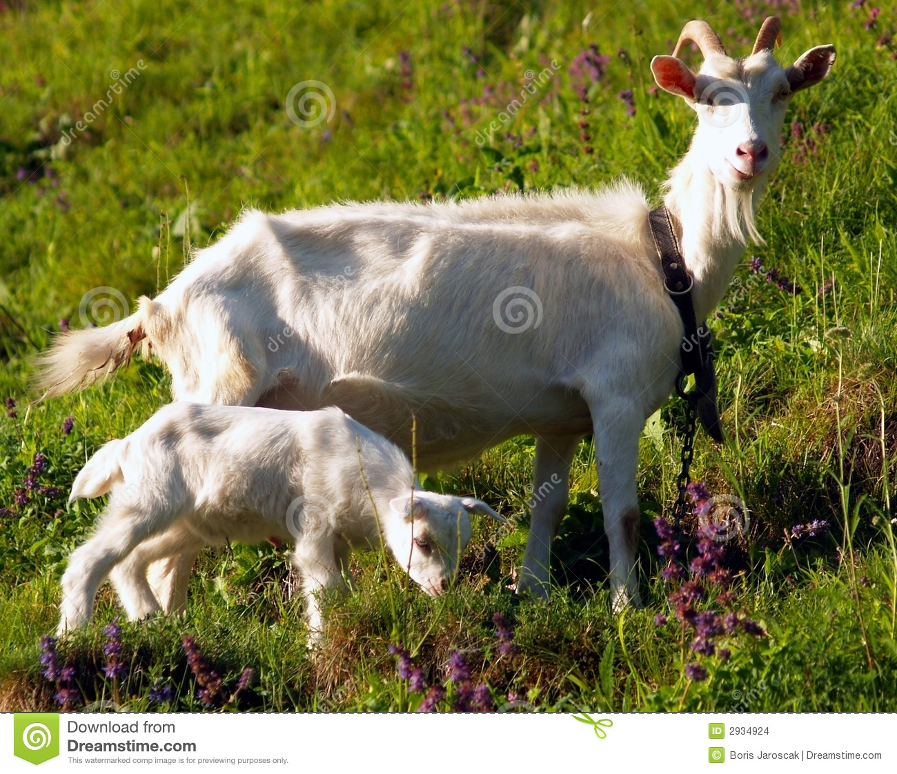 She-goat with yeanling