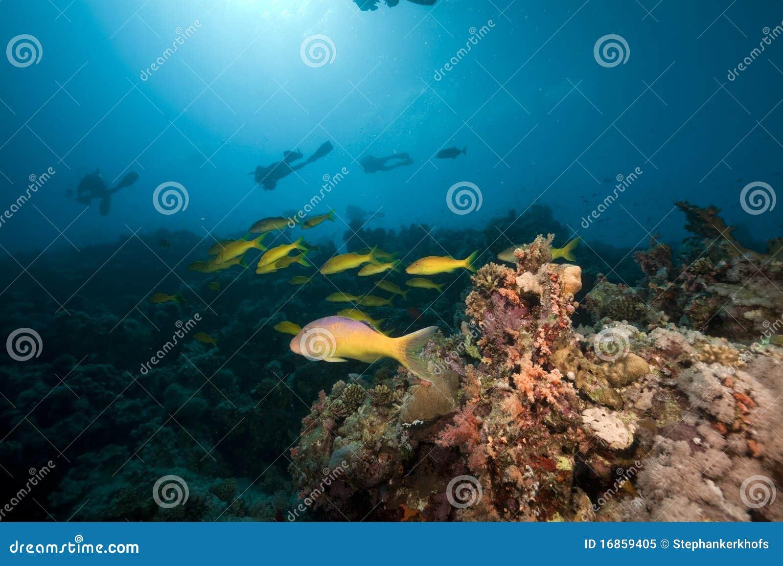 Goatfish de Yellowsaddle no Mar Vermelho