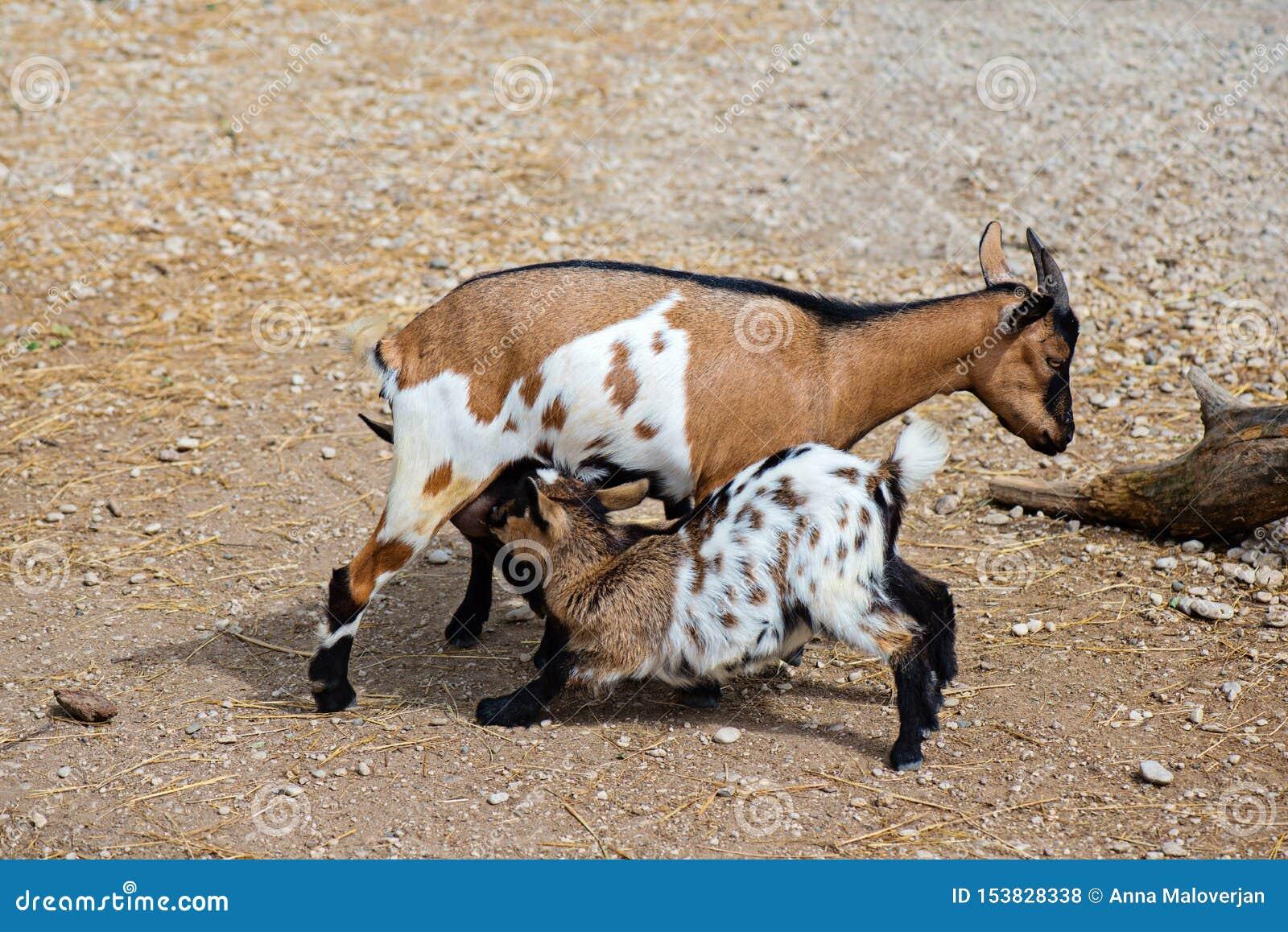 Goatlings τροφών αιγών