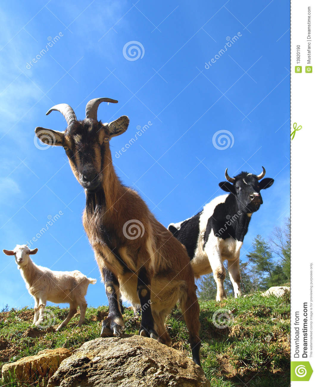Goats and bull