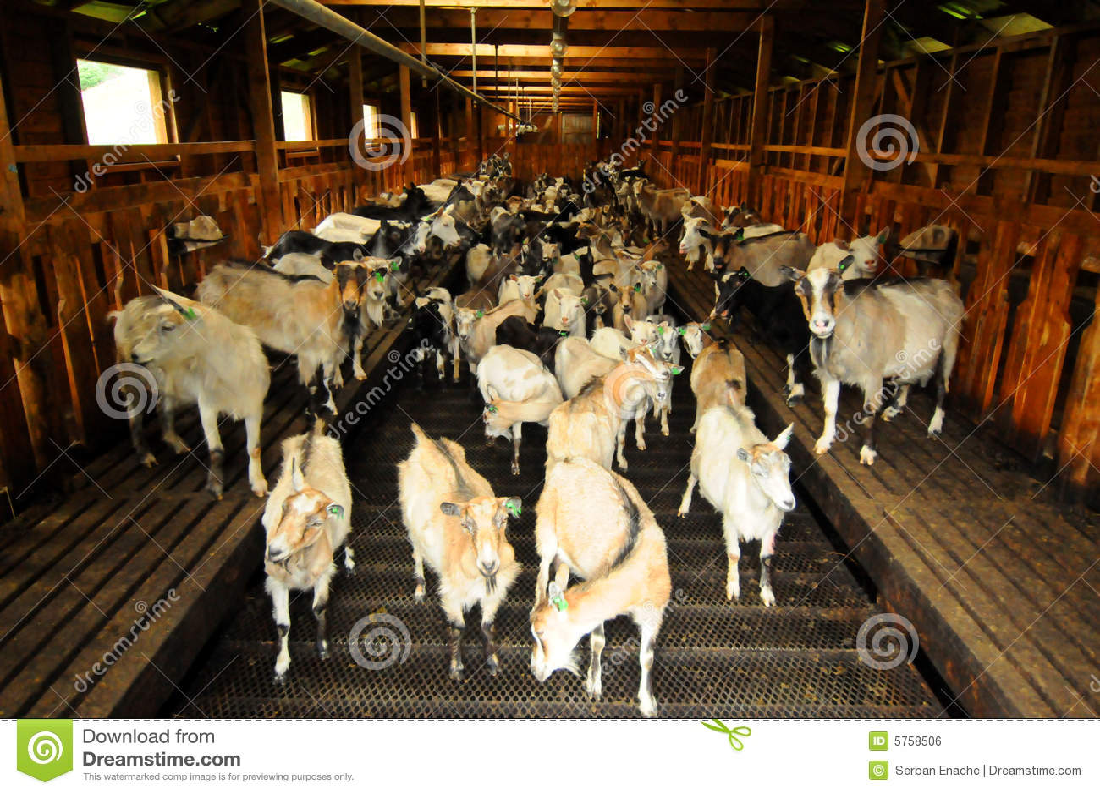Goats at farm