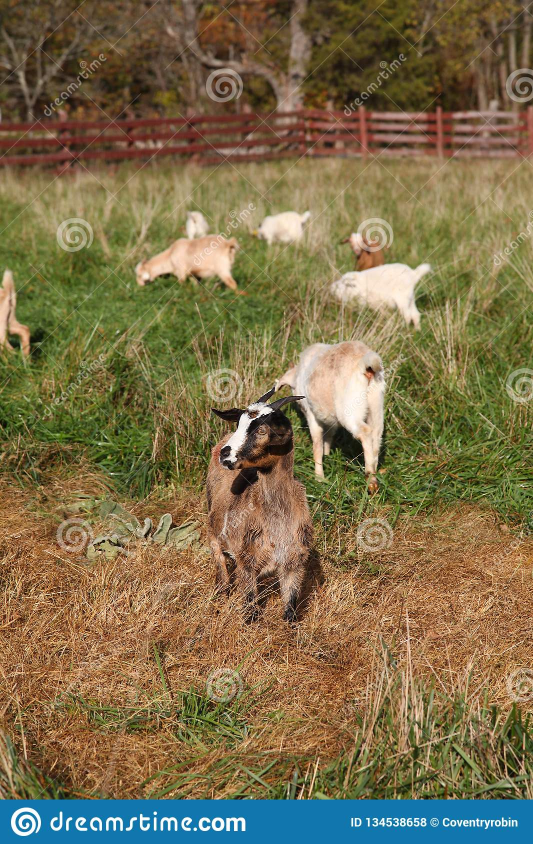 Goats Grazing In A Paddock On A Rural Farm Stock Photo - Image of