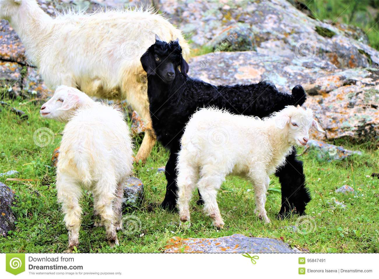 Goats In The Highland Pasture Stock Image - Image of high ...