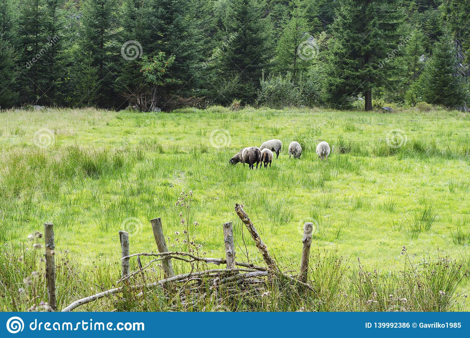 Goats and lambs grazing on the juicy grass of the forest 2