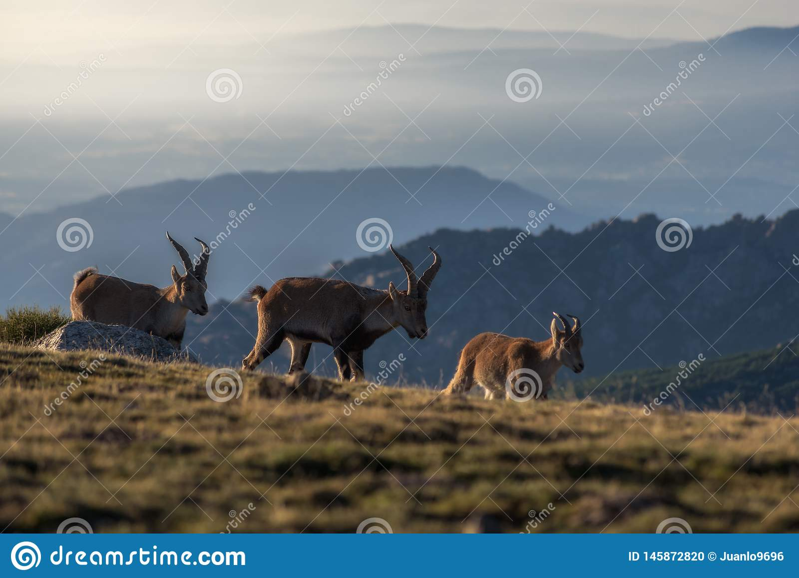 Goats in the mountain. Wild mountain goats at dawn on the National Park of Guadarrama,Spain stock photo