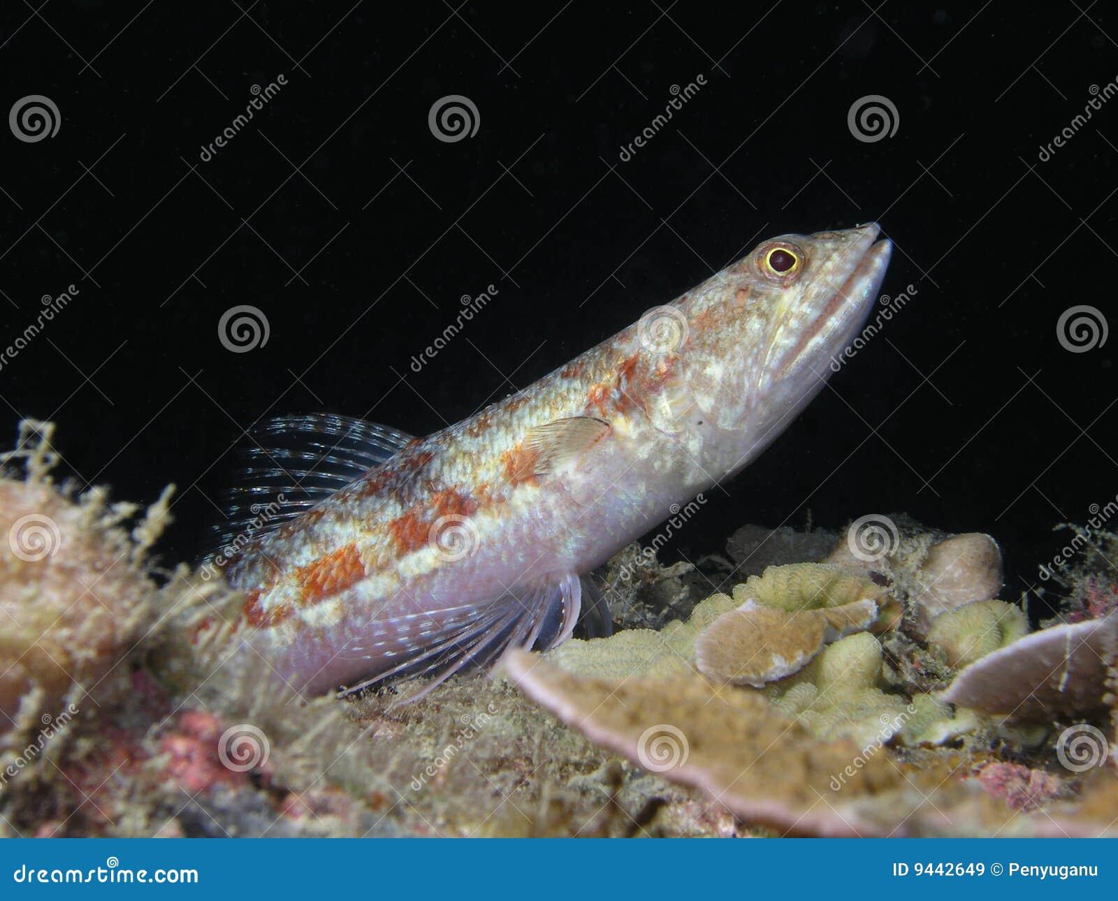 Goby рыб