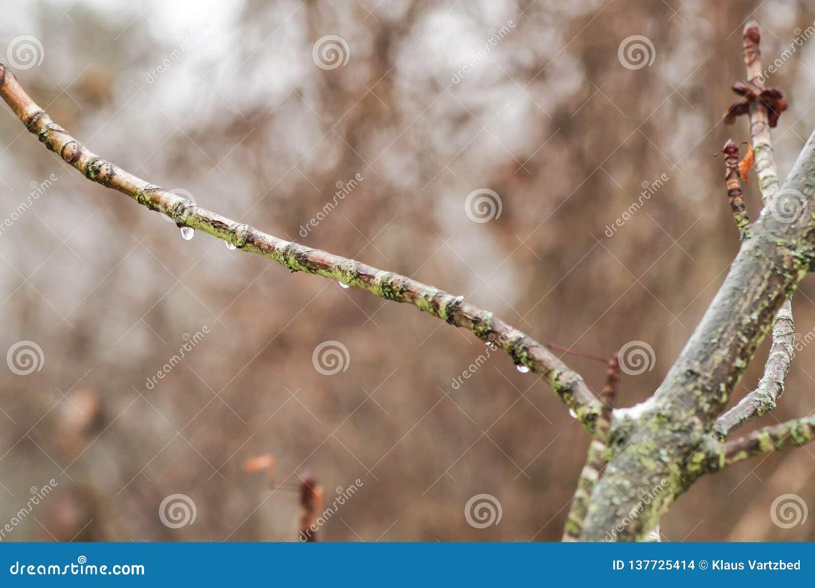 Gocce di acqua su un piccolo ramo