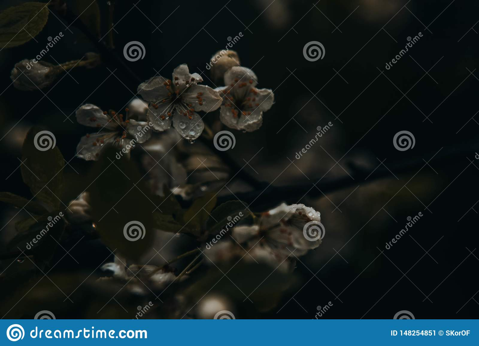 Gocce di pioggia sui fiori di melo