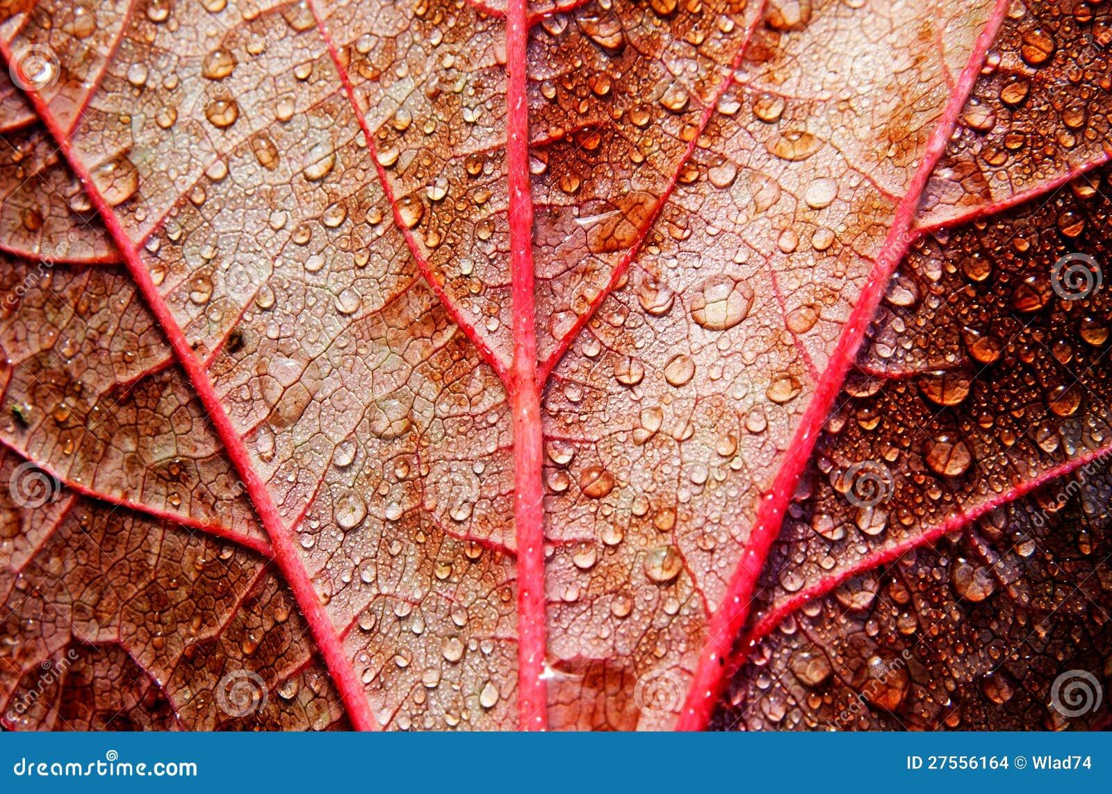 Gocce di pioggia sul foglio di colore rosso di autunno - Foglio colore coniglietto pasquale ...