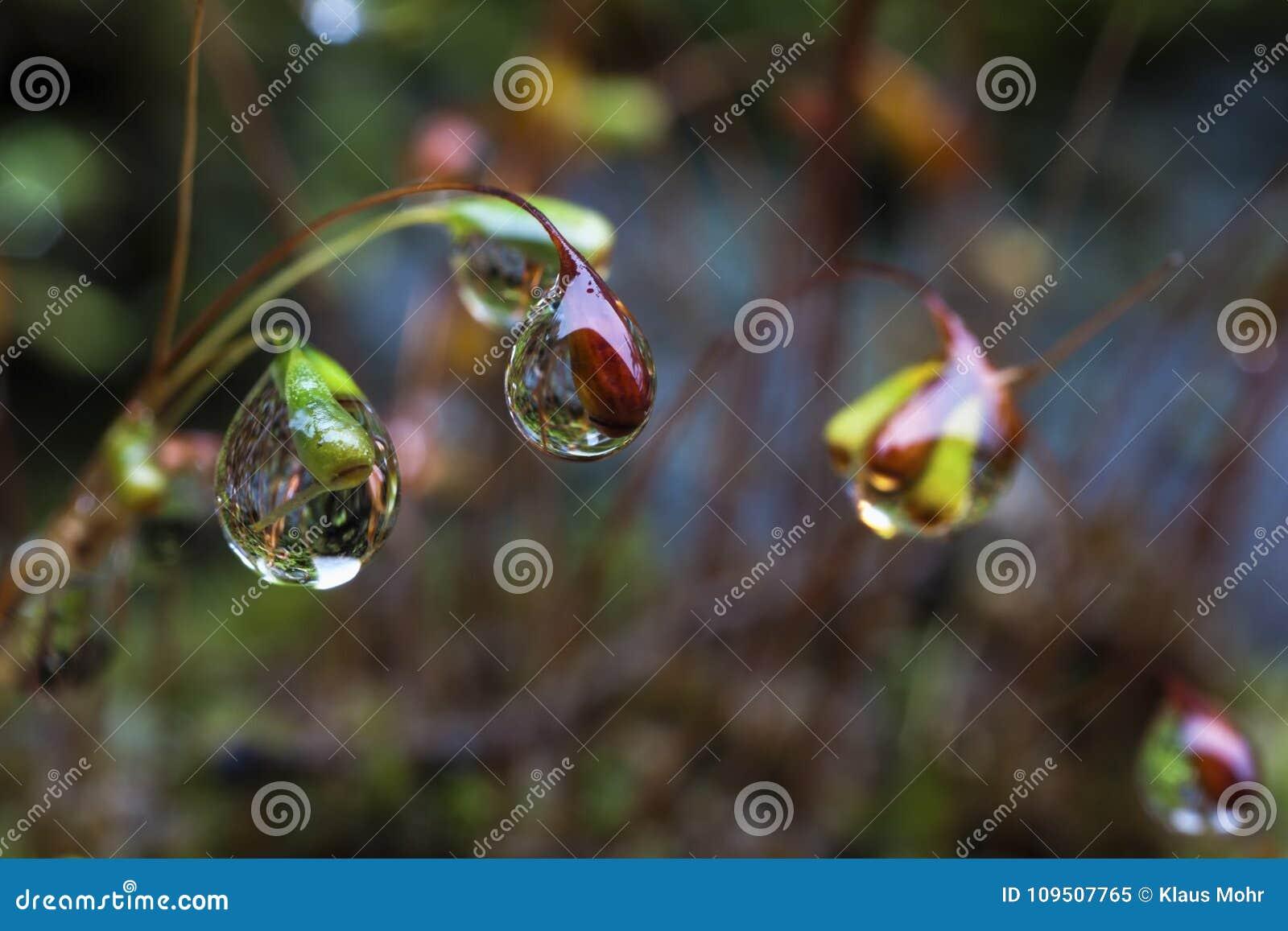 Goccioline di acqua alle punte dei semi del muschio