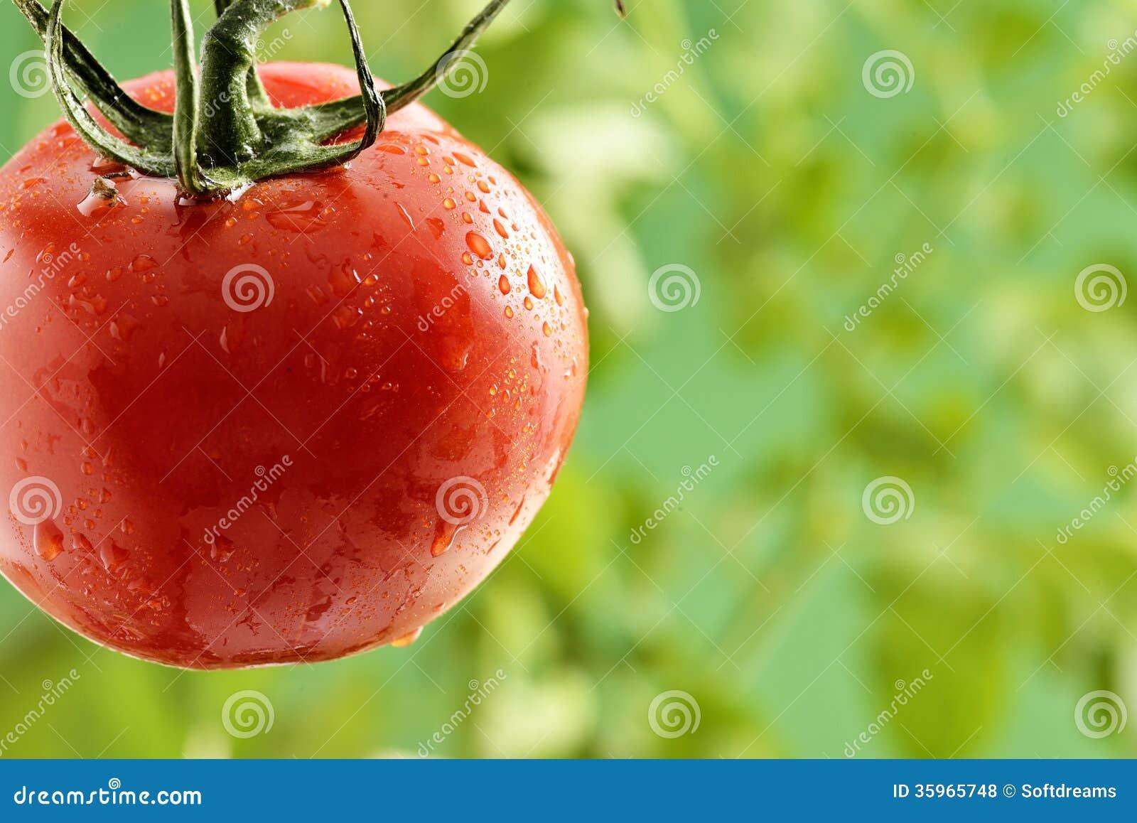 Goccioline di acqua sulla pianta di pomodori