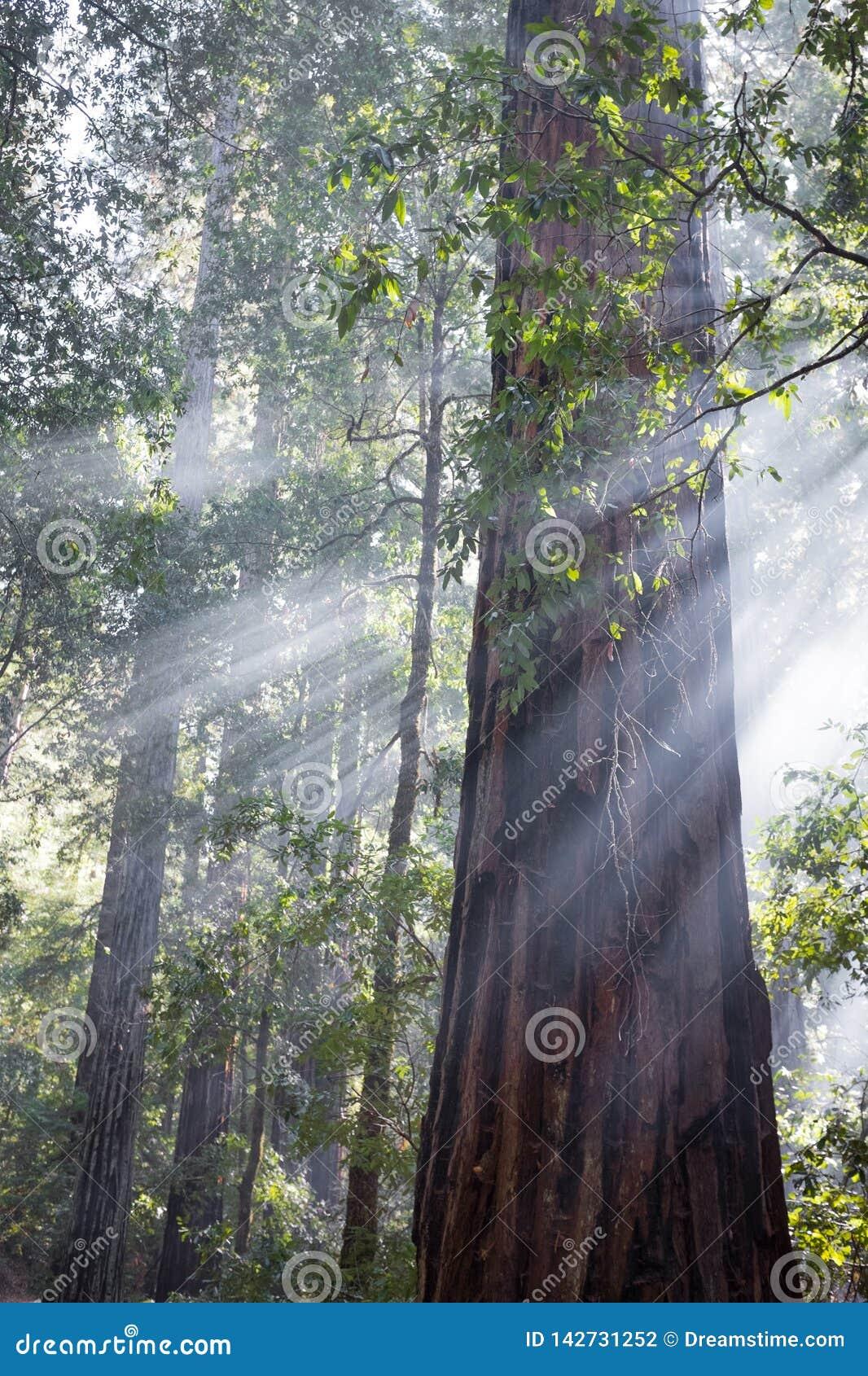 Godsstralen in Californische sequoiabomen