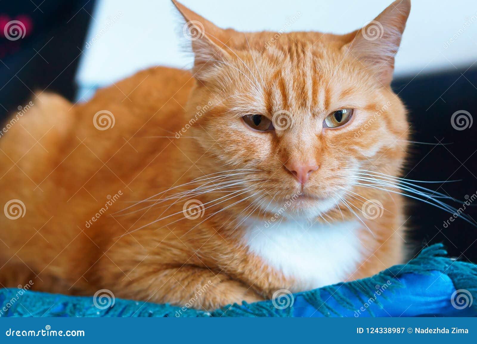 Goed gehandhaafde schone pluizige kat, de kat van het gemberhuis