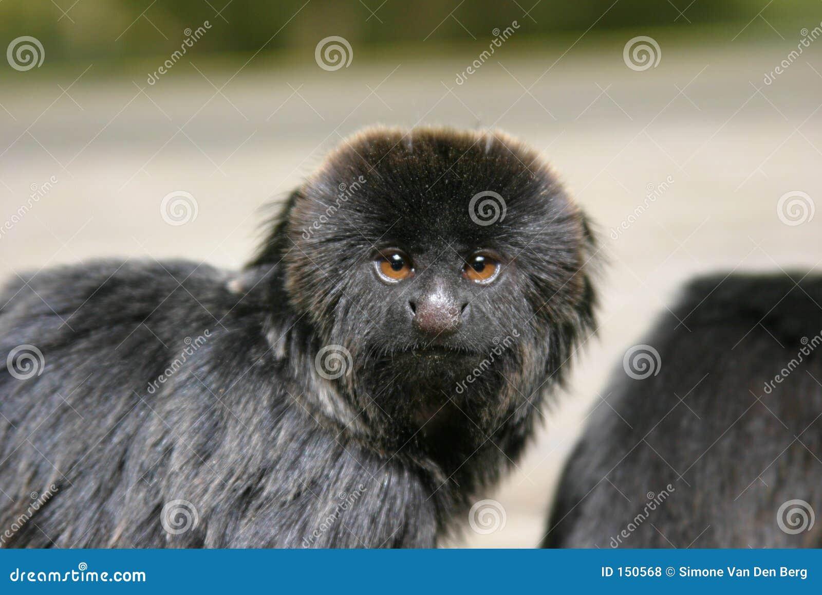 Goeldii s monkey