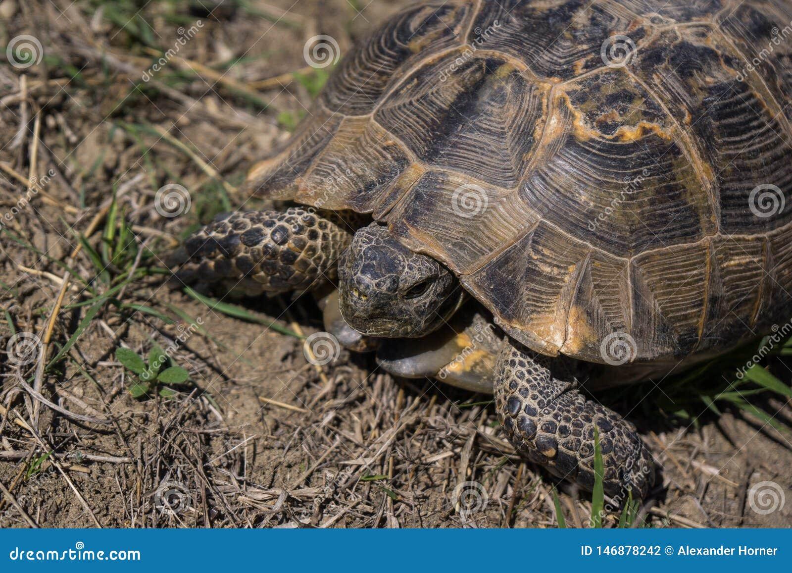 Goffersköldpadda på den Azerbajdzjan gränsen