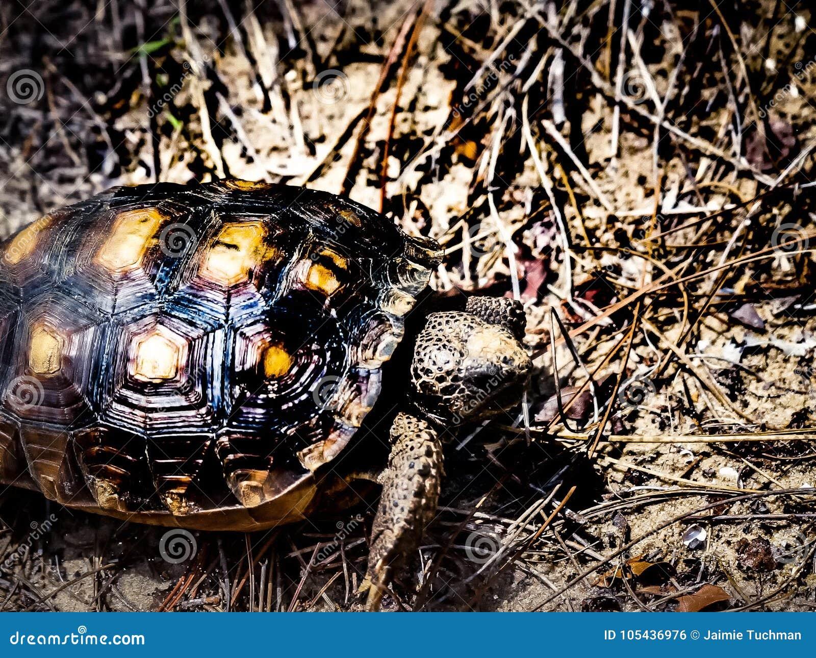 Goffersköldpadda som går på sanden