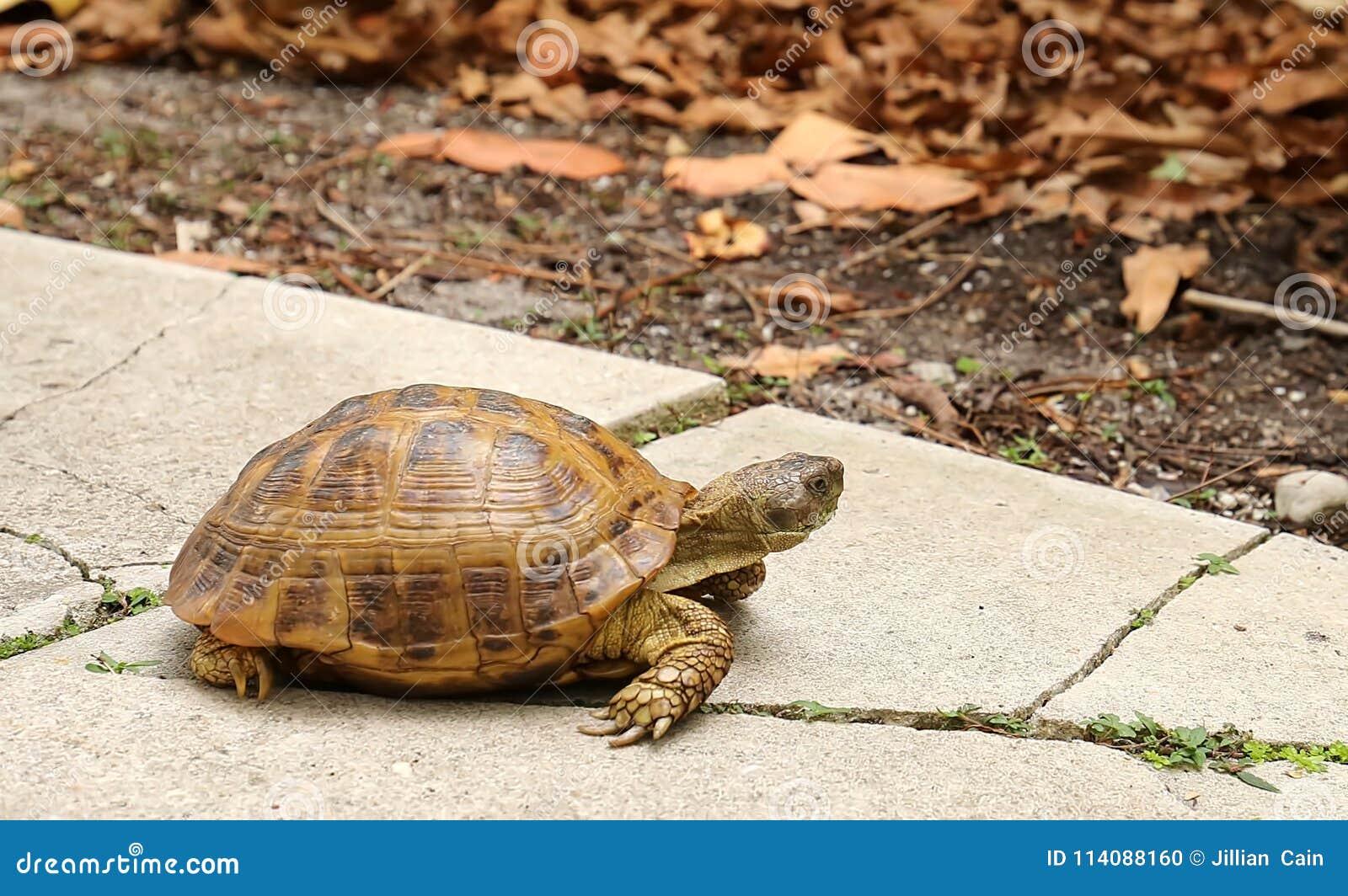 Goffersköldpadda som söker efter mat