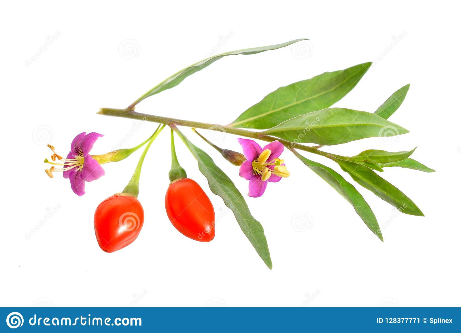 Goji Berries Or Lycium Barbarum With Flowers Isolated On White