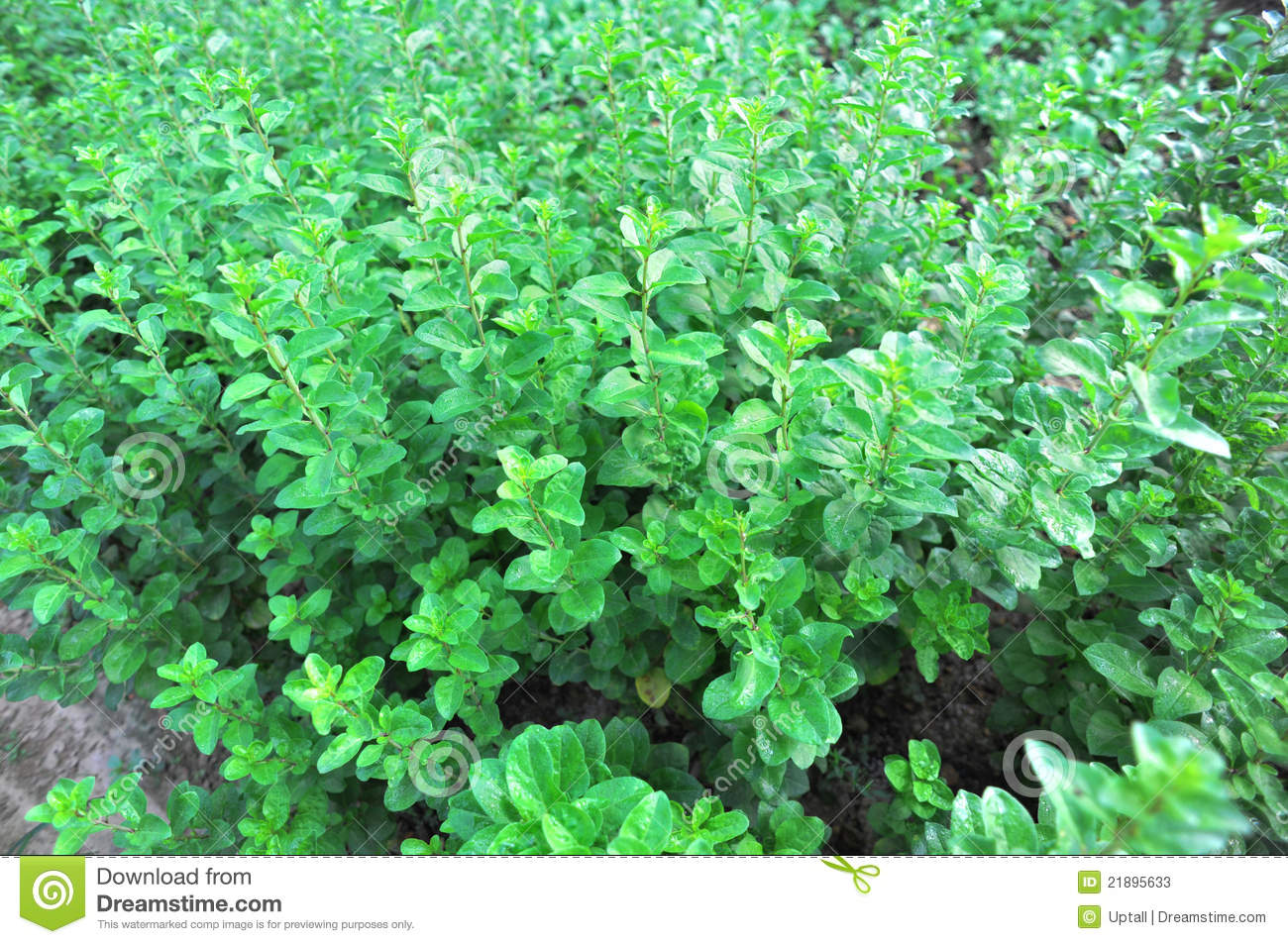 Goji Berry Plants Stock Image Image Of Above Branch 21895633