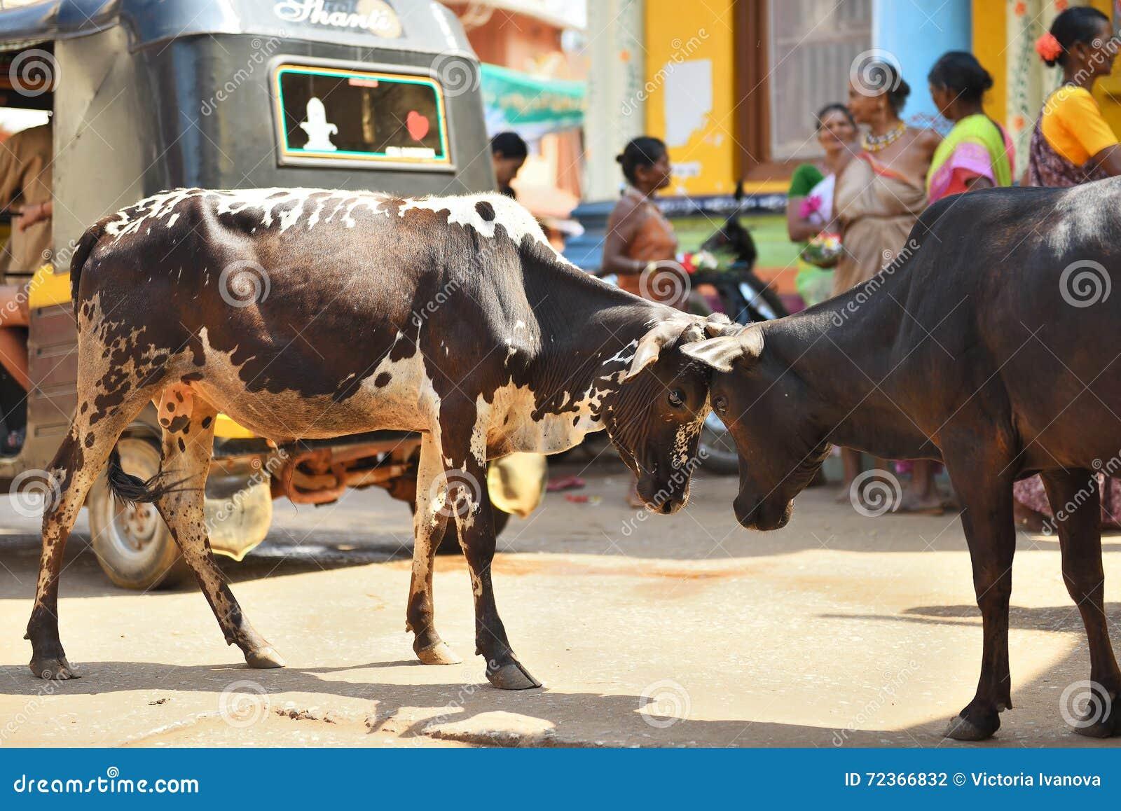 GOKARNA卡纳塔克邦印度- 2016年1月29日:接界的两头公牛在街道在Gokarna市
