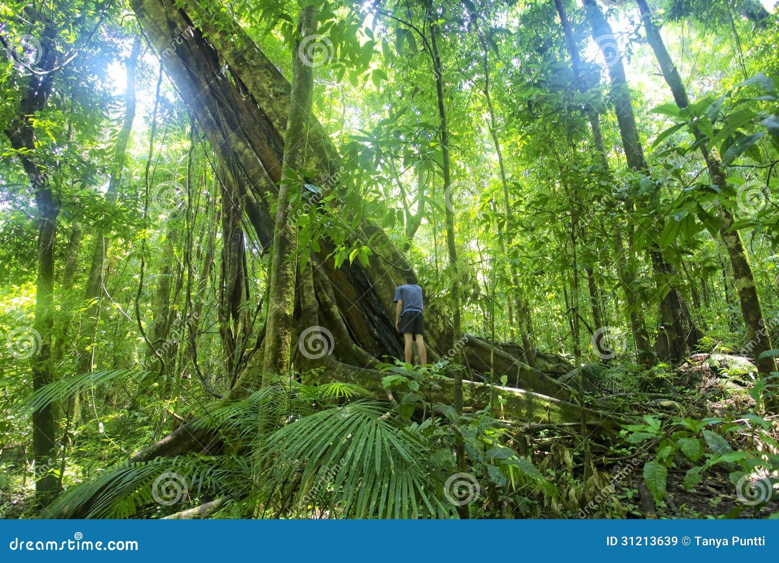 Gola di Mossman dell albero della foresta pluviale