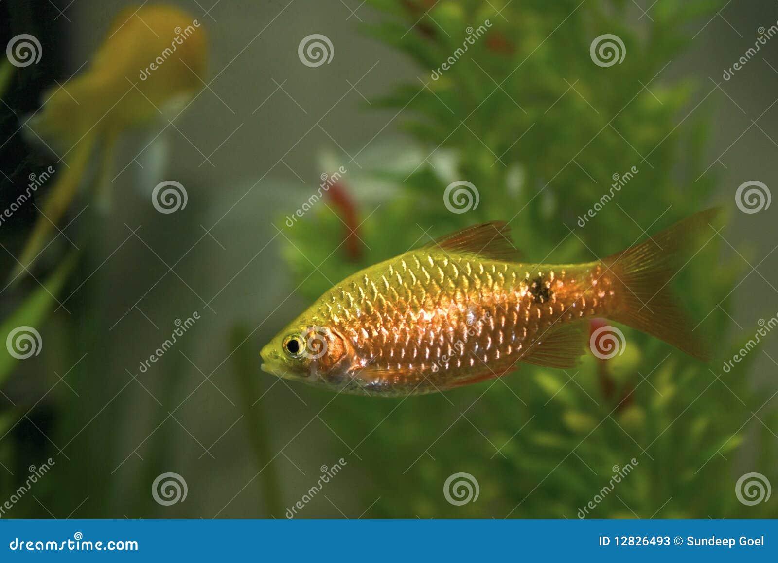 Gold barb in an aquarium tank stock photos image 12826493 for Gold barb fish