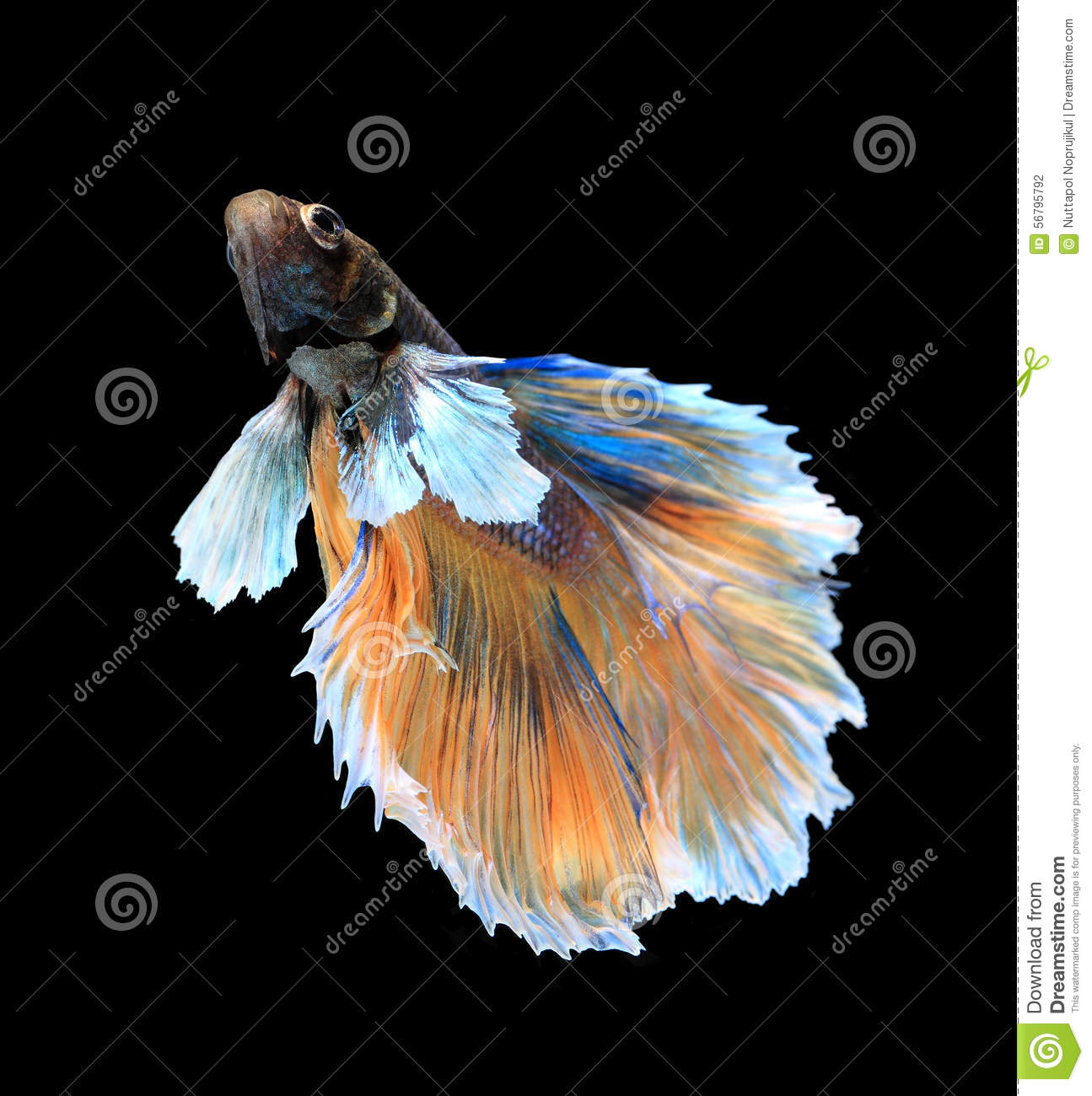 White and gold or blue and black dress royalty free stock for Siamese fighting fish crossword