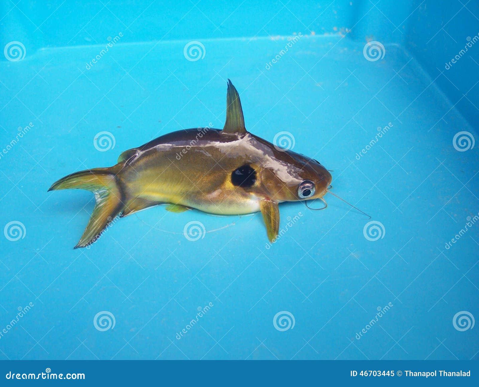 Fish aquarium and good luck - Gold Catfish Pets Gives Good Luck