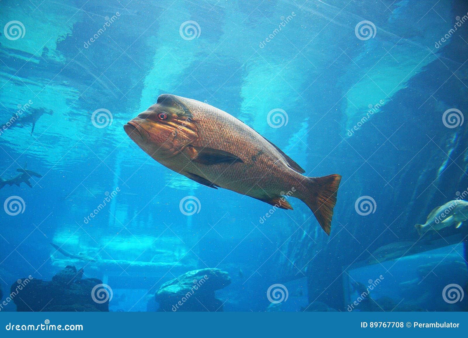 GOLD COLOURED FISH IN AN AQUARIUM