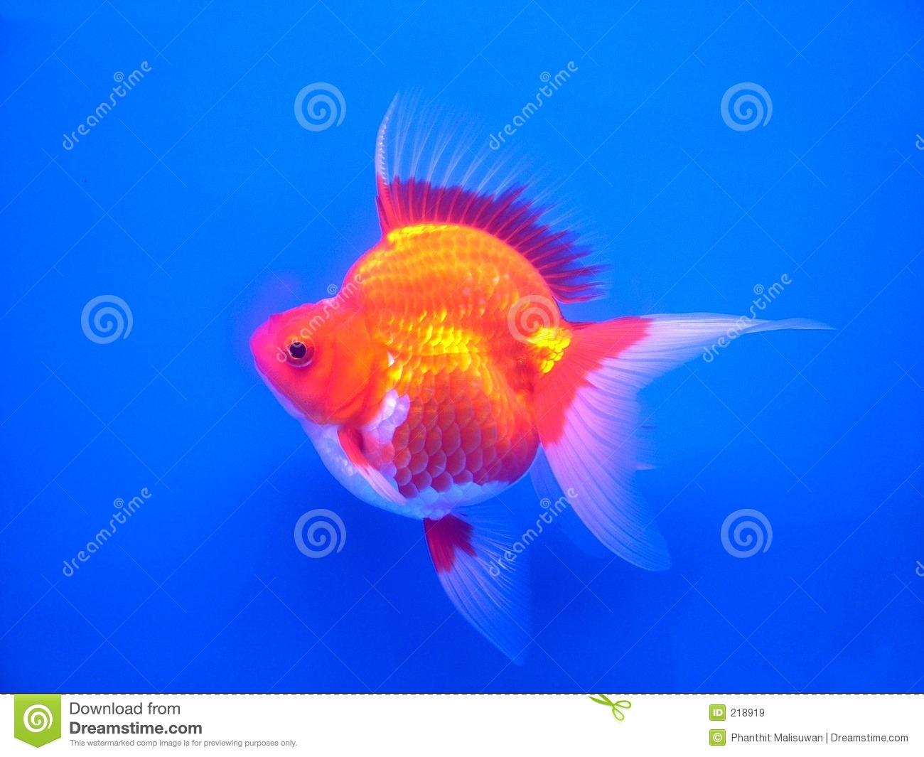 Gold fish 1 stock image image of pond gold caudal for Ok google plenty of fish