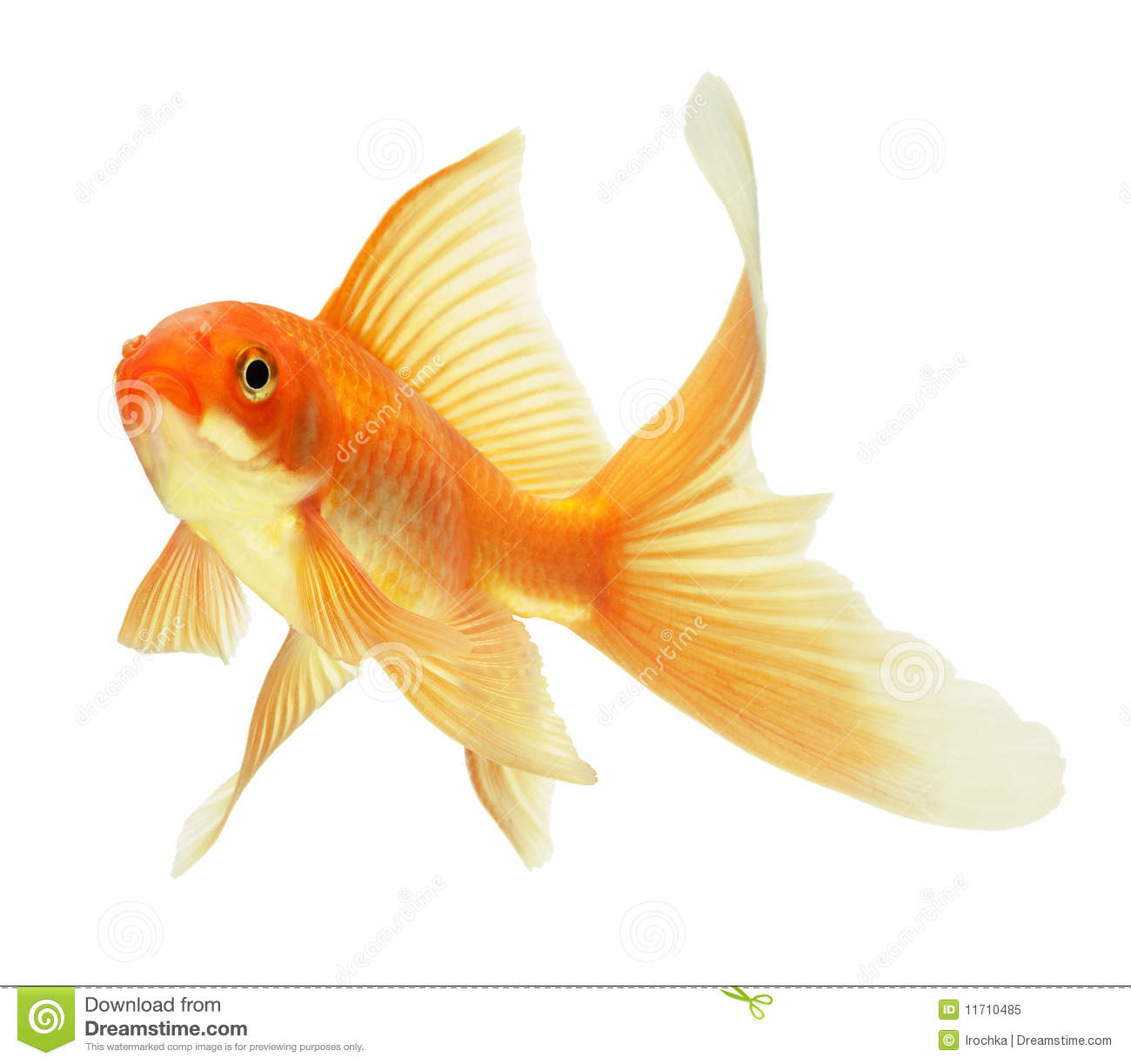 gold fish stock image image of beautiful aquarium macro 11710485. Black Bedroom Furniture Sets. Home Design Ideas