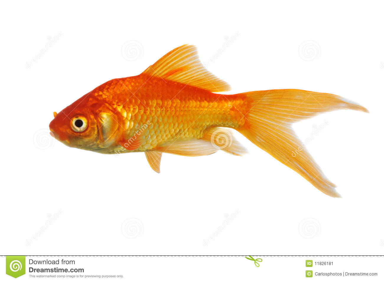 Gold fish stock image image of cute tropical isolated for Fish for gold