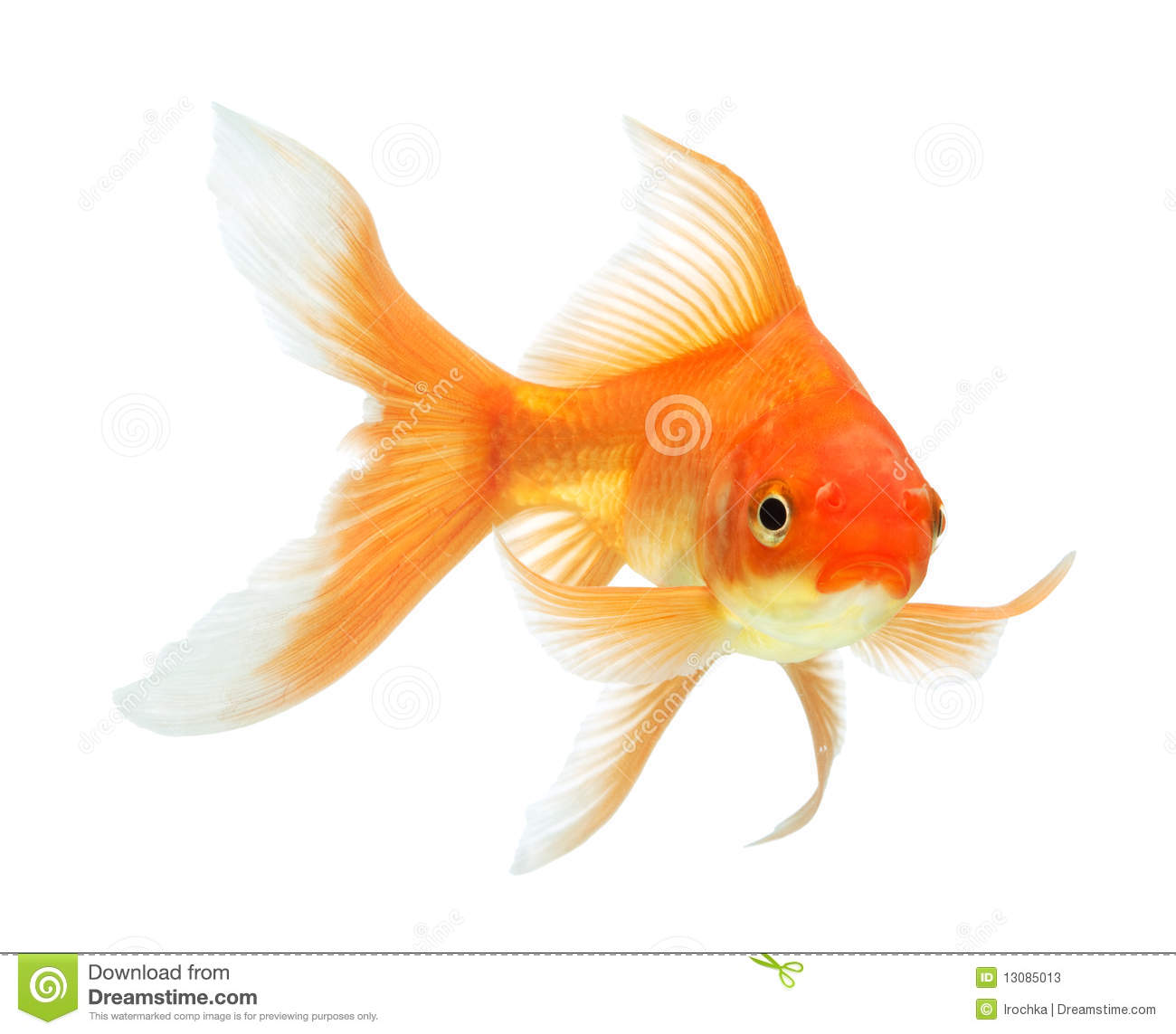 Gold fish stock photos image 13085013 for Image of fish