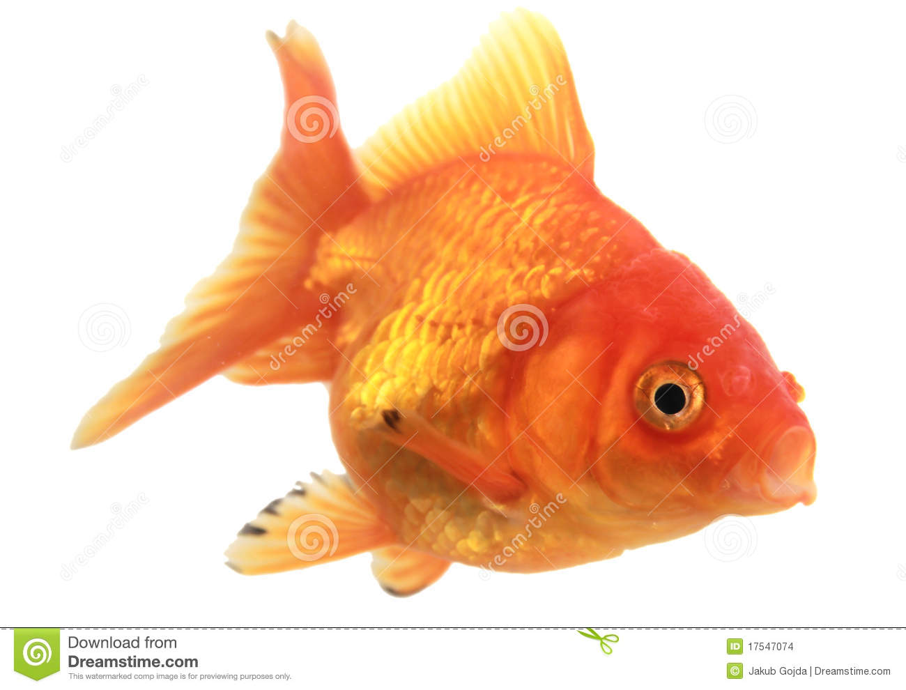 Gold fish stock photo image of animal single isolated for Image of fish