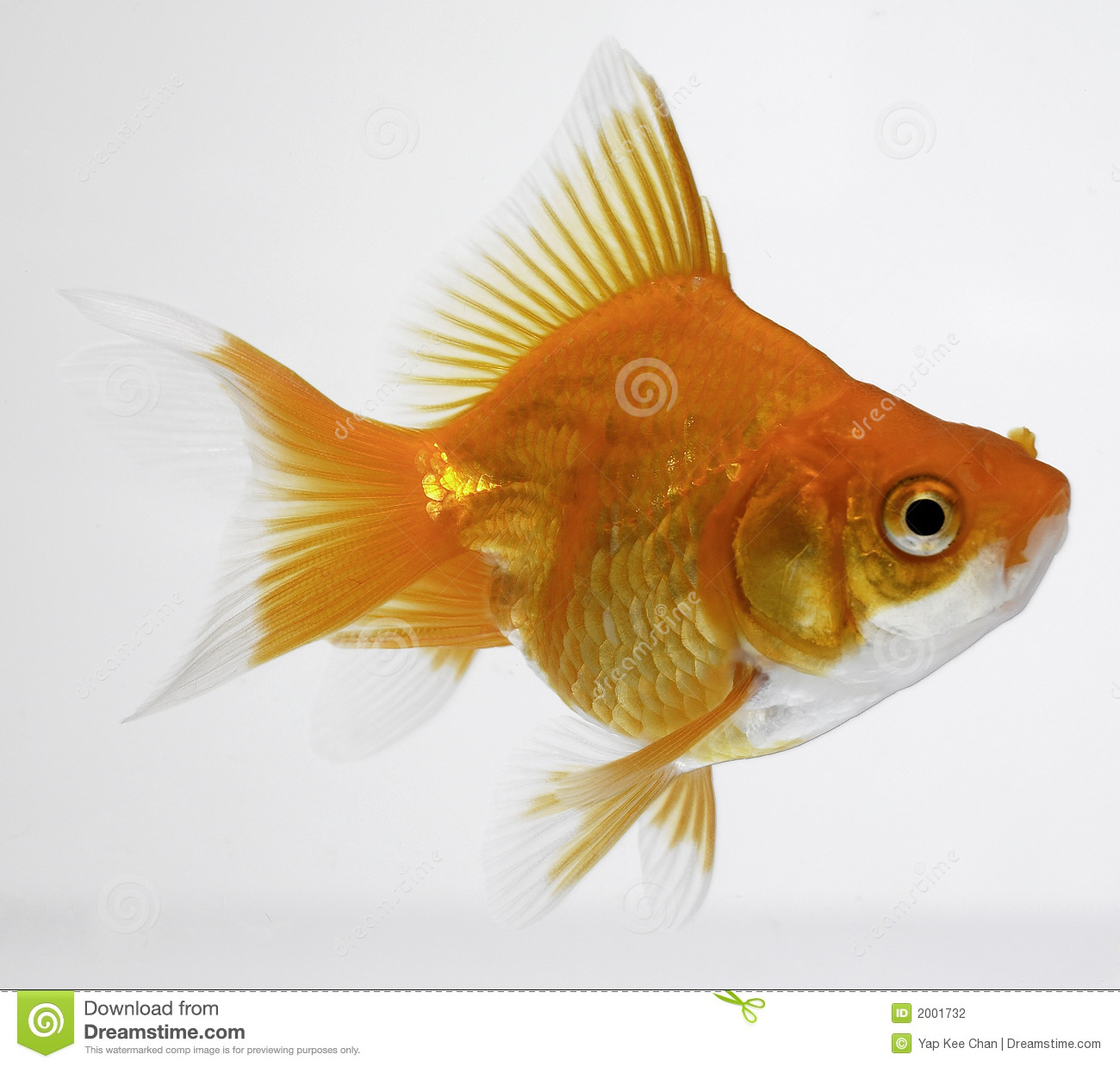 Gold fish stock photography image 2001732 for Fish for gold