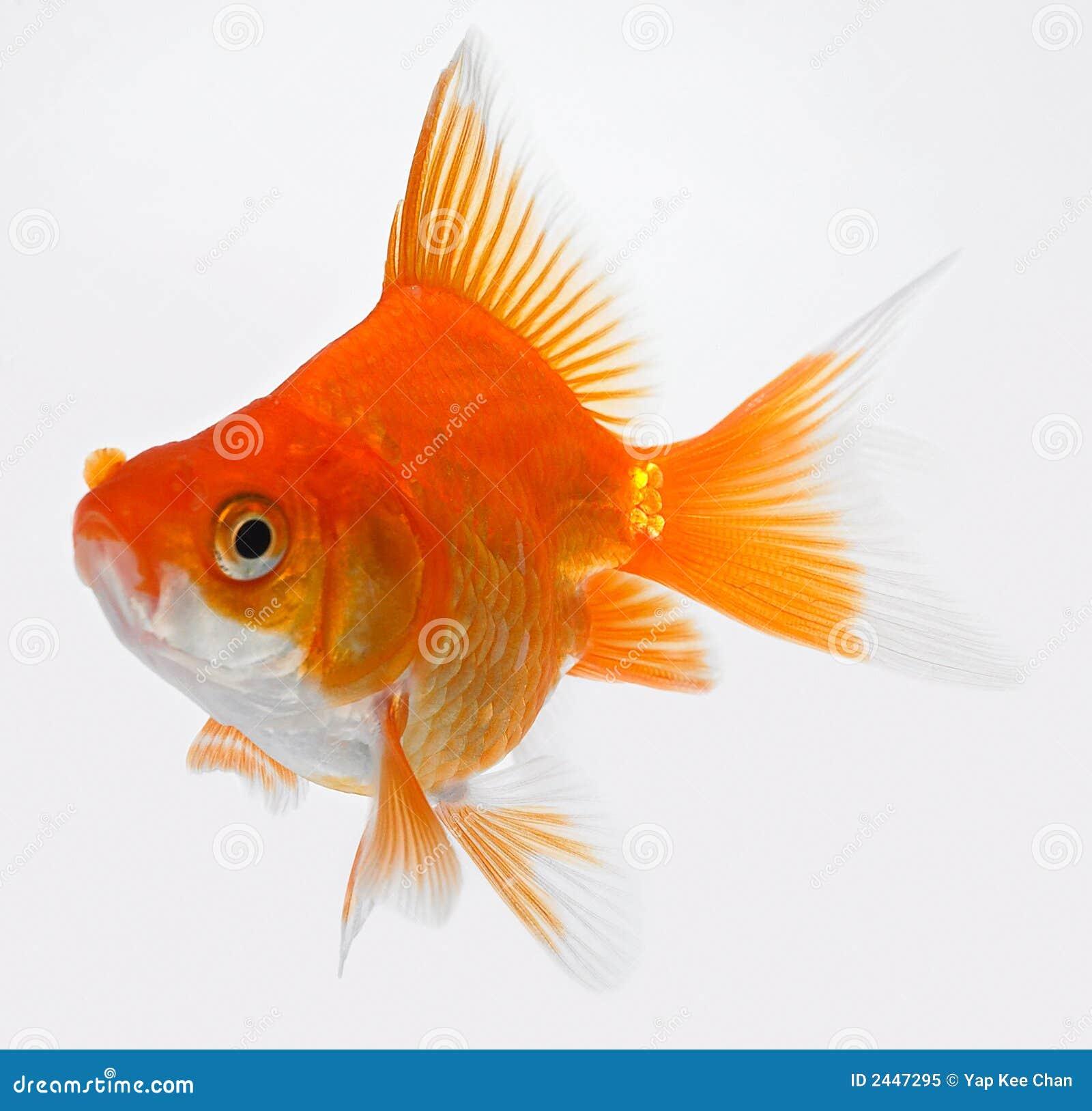 Gold fish stock image image of aquarium swim orange for Fish for gold