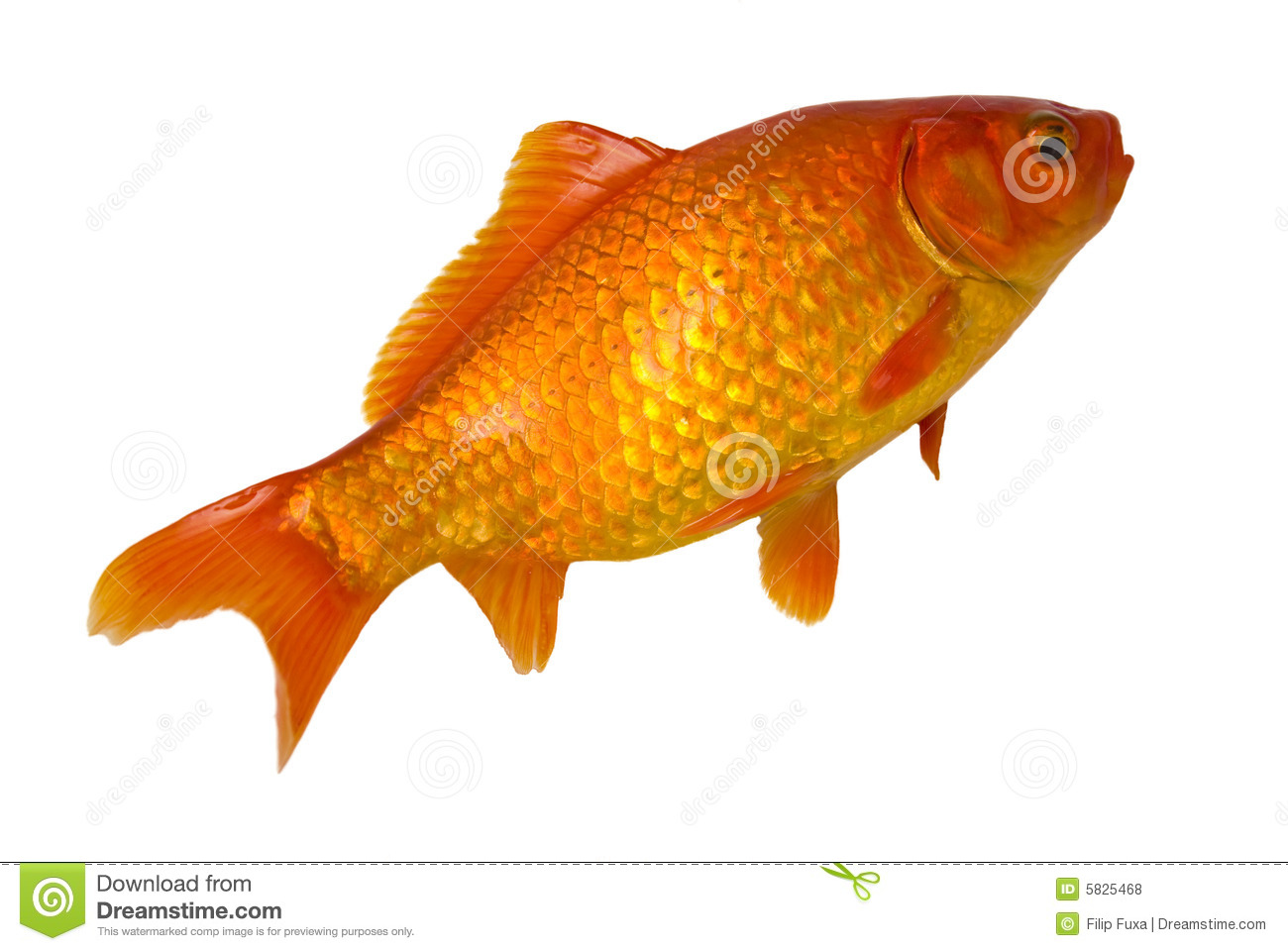 Gold Fishes Photos Gold fish stock...