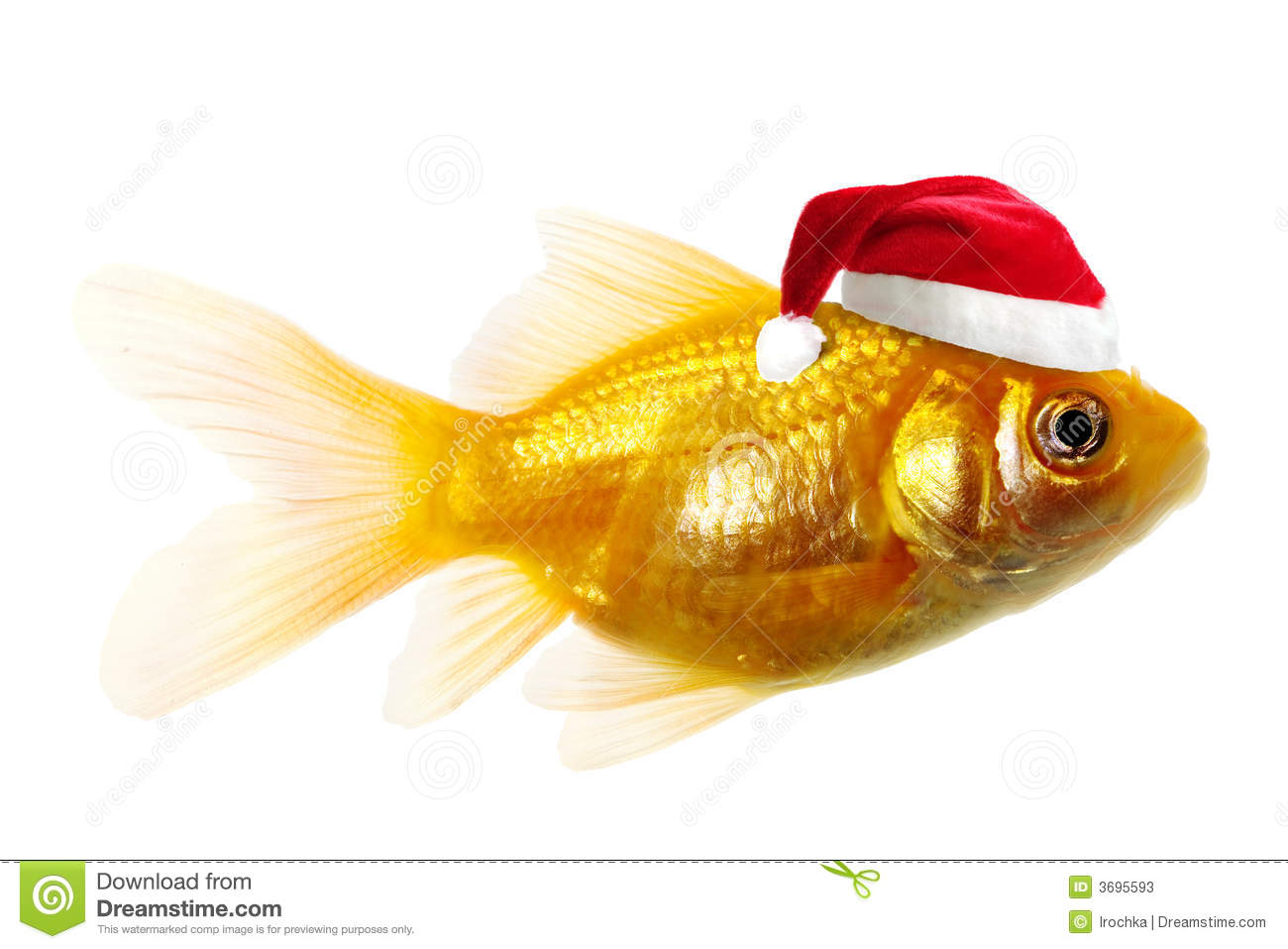 gold fish wearing a Santa Claus hat, isolated on white background.