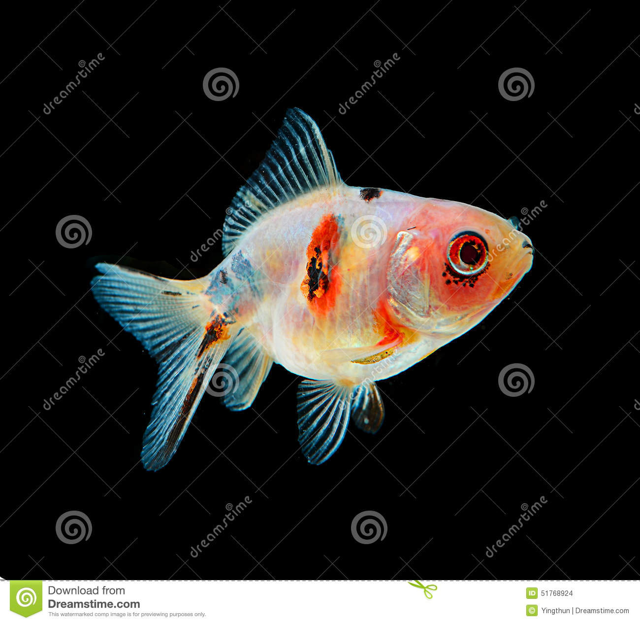Gold fish black on background