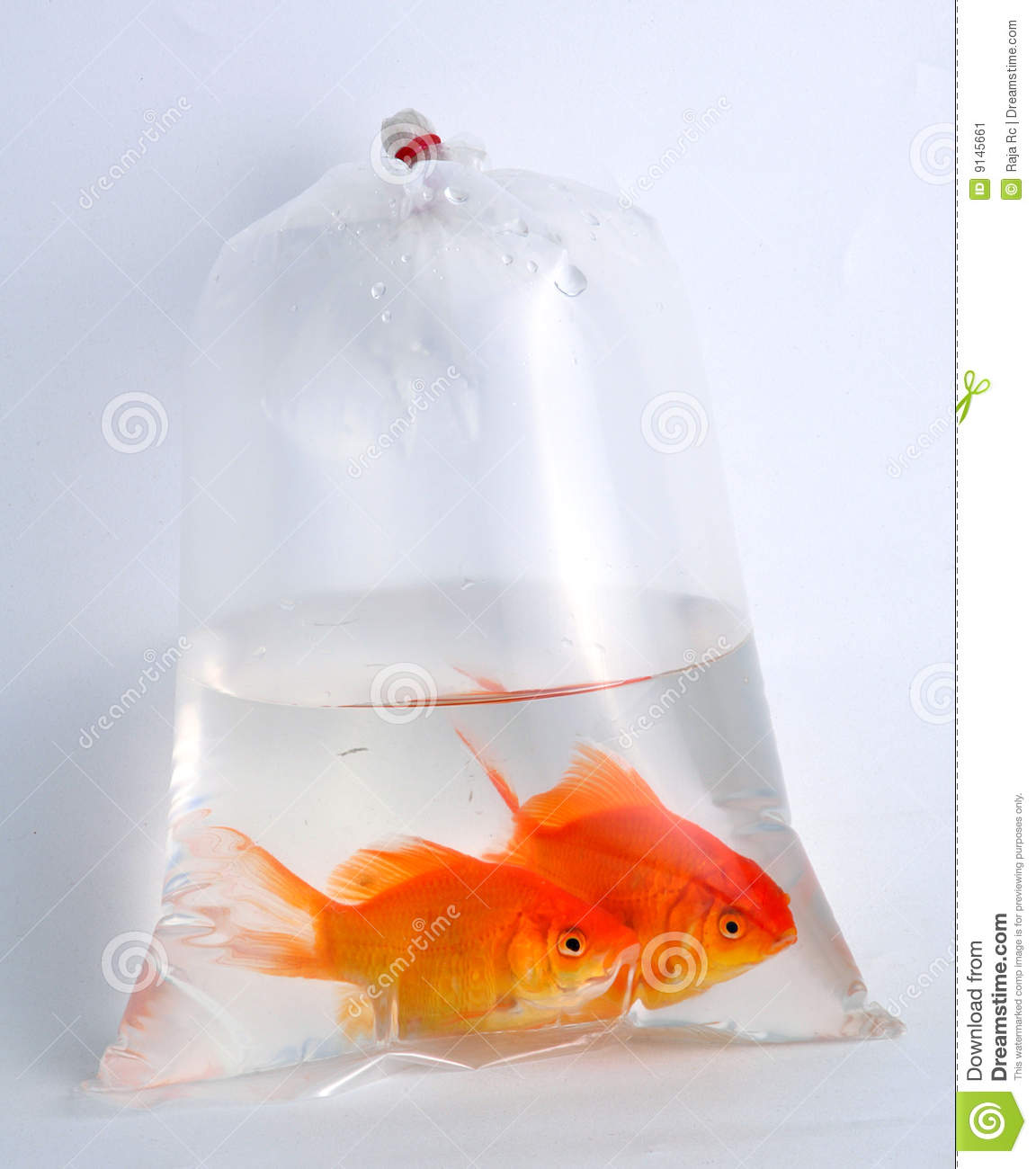 gold fish in plastic bag stock image   image 9145661