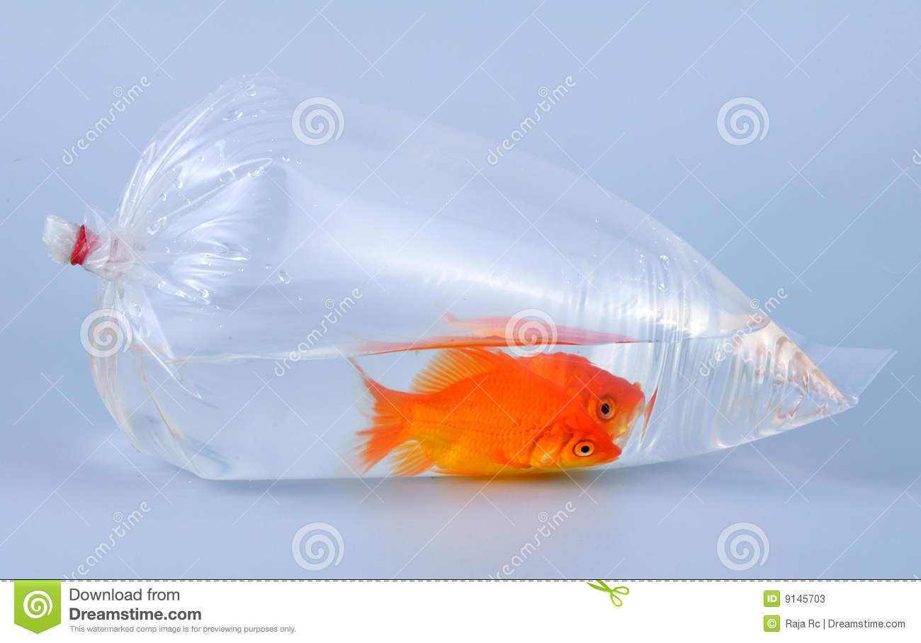 Gold fish in plastic bag stock photos image 9145703 for Fish in a bag