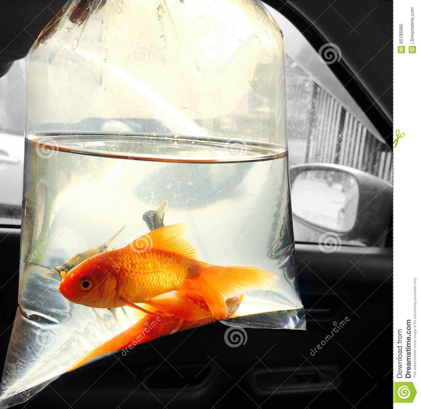 Gold fish in plastic bag stock photo image 85185992 for Fish in a bag