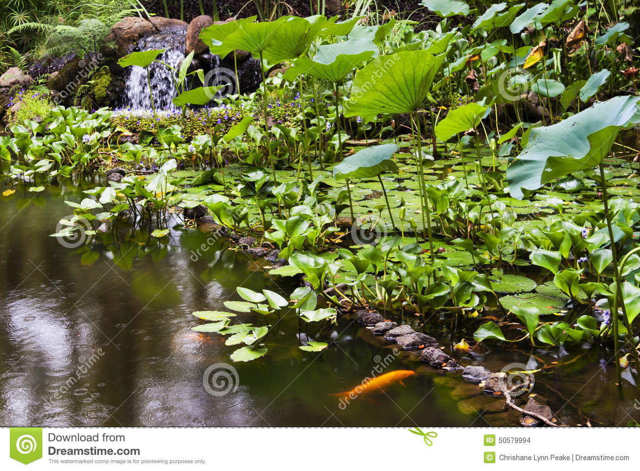 Gold fish pond at the hawaii tropical botanical garden for Tropical fish pond