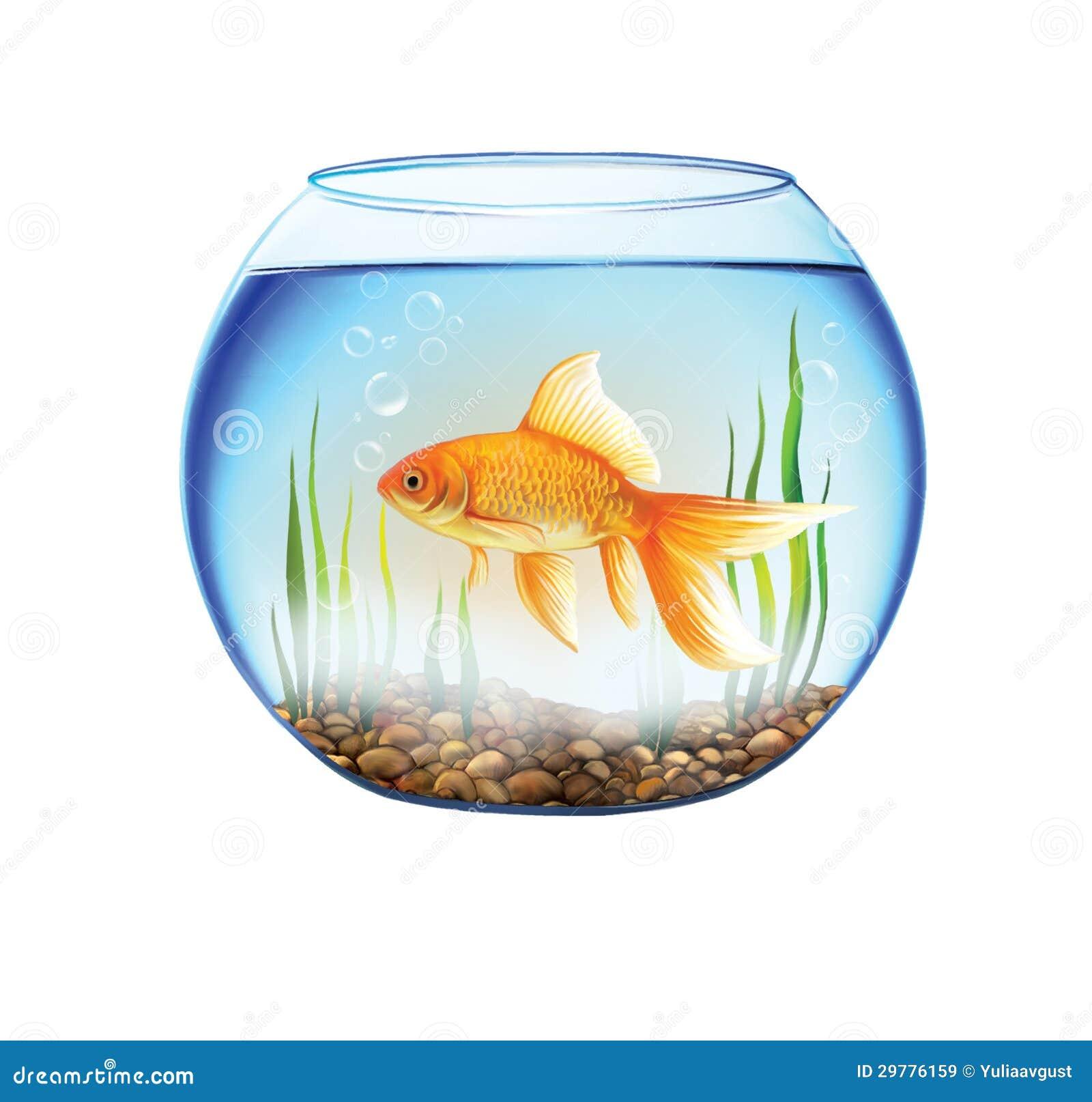 Gold fish in a round aquarium fish bowl royalty free for Fish bowl aquarium