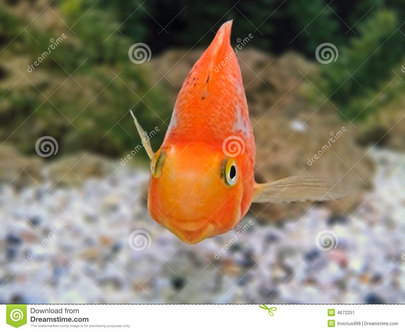 Gold Fishes Photos Gold Fish Smile Close-...