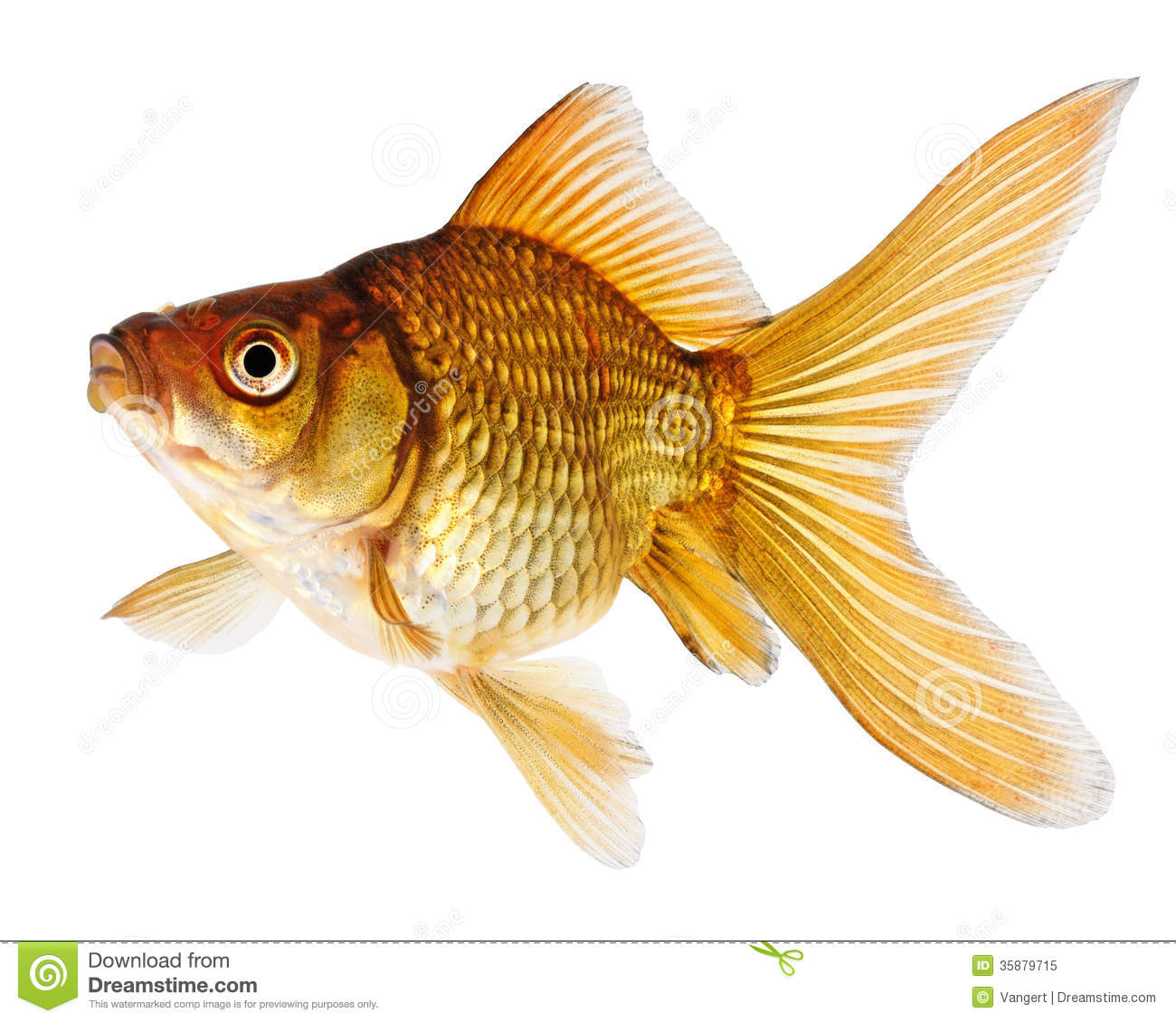 Gold fish on white background stock image image 35879715 for Pictures of white fish