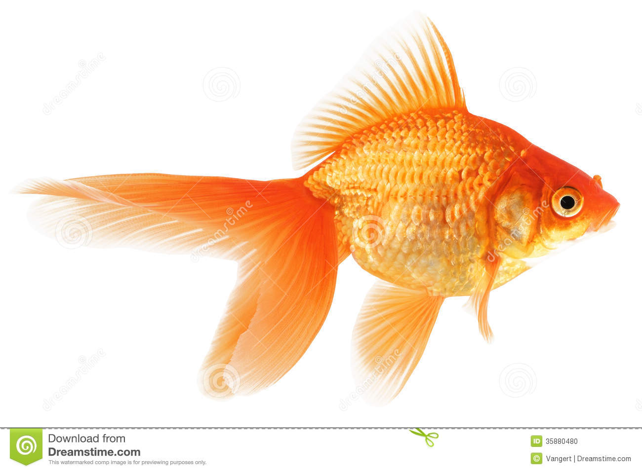 Gold Fish On White Background Stock Photo - Image: 35880480