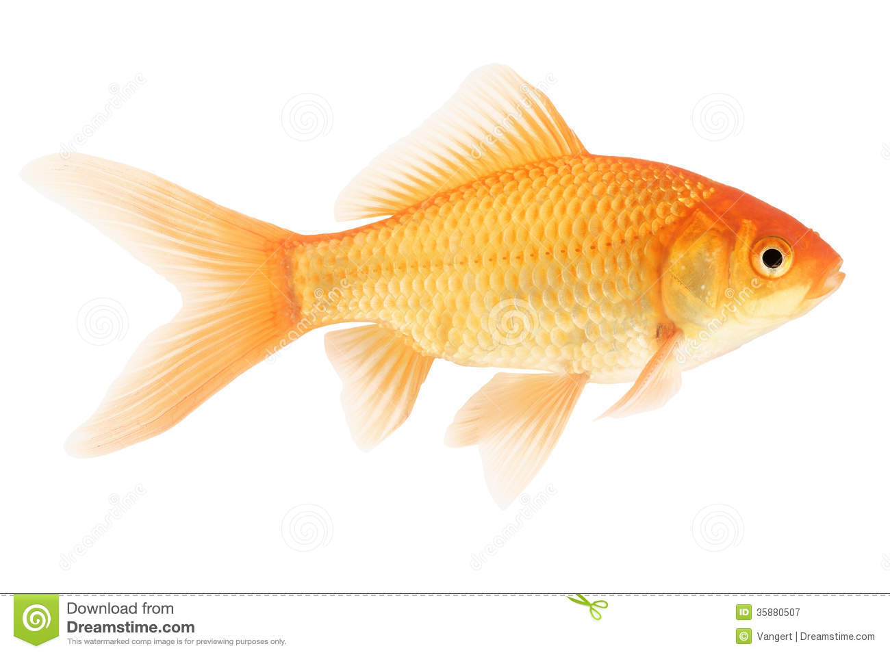 Gold fish on white background stock image image 35880507 for Image of fish